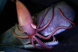 Самый большой кальмар в мире и его особенности