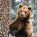 К чему снится медведь – толкование снов