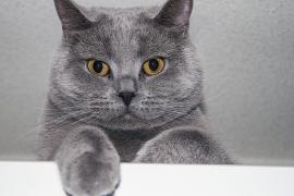 Самые ласковые породы кошек в мире – рейтинг