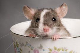 К чему снятся крысы – толкование снов по разным сонникам