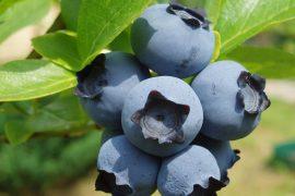 Чем полезна голубика – необходимость синей ягоды в питании