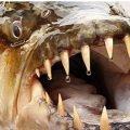 Самые страшные рыбы в мире