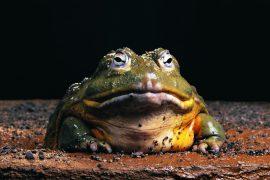 Самая большая лягушка в мире – настоящий Голиаф