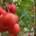 Почему трескаются помидоры в теплице – основные причины