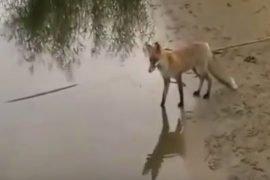 Лиса и большой сом – интересное видео