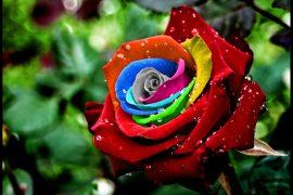 Самые красивые розы в мире