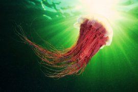 Самая большая медуза в мире – фото, места обитания