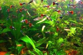 Самые неприхотливые аквариумные рыбки – ТОП-10