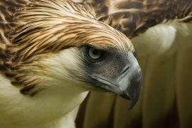 Самый большой орел в мире