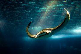 Самый большой крылатый скат, живущий в океане