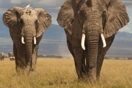 Сколько весят слоны?