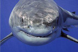 Самые опасные акулы в мире