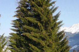 Самые долгоживущие деревья в мире