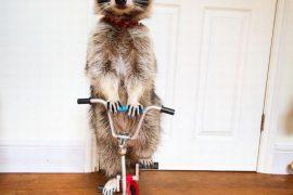 Мелани – уникальный енот, освоивший двухколесный велосипед