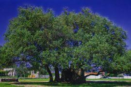 ТОП-10 известных деревьев