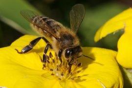 5 научных фактов о пчелах