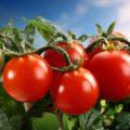 Помидор – фрукт или овощ?