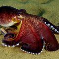 Самый большой осьминог в мире