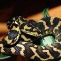 Самая длинная змея в мире