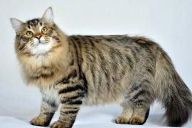 ТОП-5 самых пушистых пород кошек