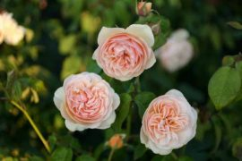 Как нарисовать розу – пошаговая инструкция с картинками