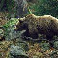 Выжить в схватке с медведем