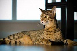 Самые дорогие кошки в мире: цена и фото