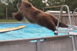 Спа для медведей – упал в бассейн