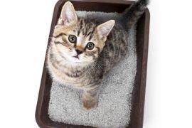 Как приучить котенка к лотку – все хитрости