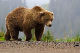 Где живет бурый медведь?