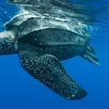 Самая большая черепаха в мире фото