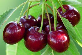 Чем полезна вишня и зачем ее кушать?