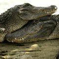 Таможенники изъяли туши крокодилов