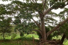 Бальза – самое легкое дерево в мире