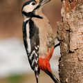 У какой птицы самый длинный язык