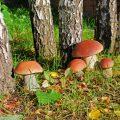 Самые грибные места Подмосковья