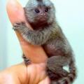 Самая маленькая обезьянка в мире – фото и характеристики