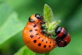 Как правильно избавляться от колорадских жуков?