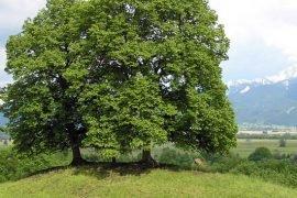 Какое самое сладкое дерево наших лесов?