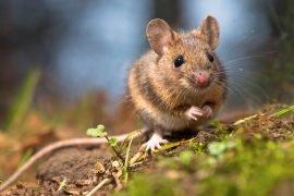 К чему снится мышь – толкование сна по разным сонникам