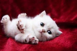 Как определить пол котенка в первые дни жизни