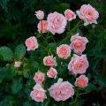 Посадка и выращивание спрей роз