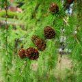 Самое распространенное дерево в России