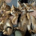 Самые редкие породы кошек в мире