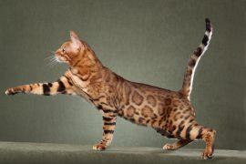 Самые большие кошки в мире – ТОП-8 с ФОТО