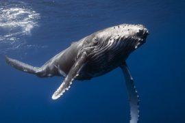 Самый большой кит в мире