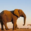 Самый большой слон в мире