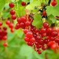Уход за плодоносящими кустарниками в саду