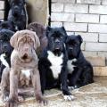 13 самых умных пород собак