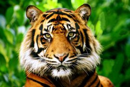 Самый маленький тигр